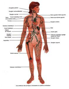 Anatomie du système lymphatique  Rôle du système lymphatique   Fonctionnement et physiologie du système lymphatique Fabrication de la lymphe    Anatomie du système lymphatique   Le système lymphatique est un « circuit » assez complexe, constitués de l'ensemble des vaisseaux et ganglions lymphatiques mais également d'organes y jouant un rôle important tels que la rate, le thymus, le cercle lymphoïde de Waldeyer, les amygdales pharyngées, laryngées, linguales et palatines et le MALT (Tissu…