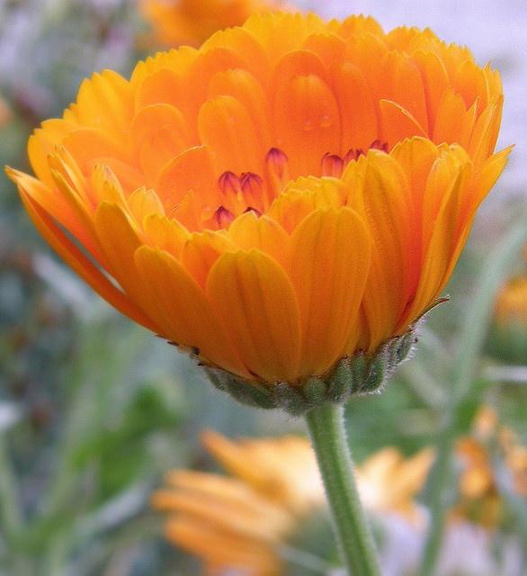 Orange Flower By Balaji B Via Flickr
