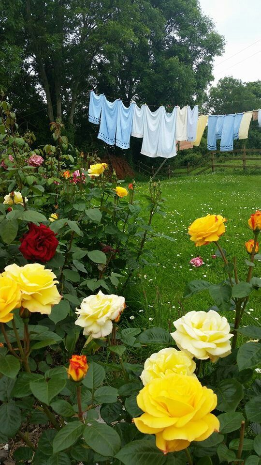 Laundry on the line and beautiful roses.                              …