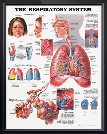 The Respiratory System anatomy poster shows the structure of intrapulmonary airways and the cross section of alveolus. Pulmonology for doctors and nurses.