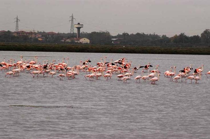 Fenicotteri rosa - Pink flamingos http://www.mimaclubhotel.it/it/milano-marittima-e-dintorni/saline-di-cervia-e-parco-del-delta-del-po/
