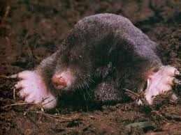 EXLAX, to get rid of moles overnight for less than ten bucks. http://www.examiner.com/article/how-to-get-rid-of-moles-from-your-lawn-overnight