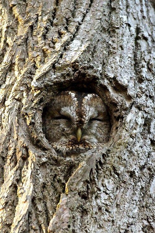 Henrik Hugnell Bark Owl