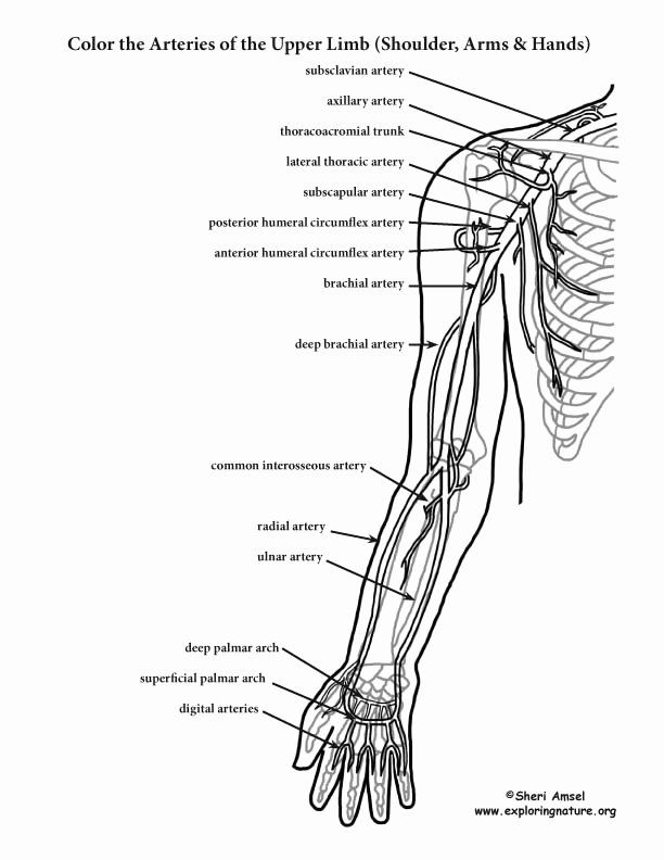Anatomy Coloring Books Awesome Arteries Of The Upper Limb Shoulder Arm Hand  Coloring Page Anatomy Coloring Book, Abstract Coloring Pages, Coloring  Pages