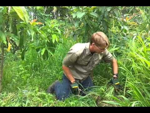 Permaculture Tools; Small Serrated Sickle (similar to a rice knife), via YouTube.  Better instructions on how to use, clean and sharpen