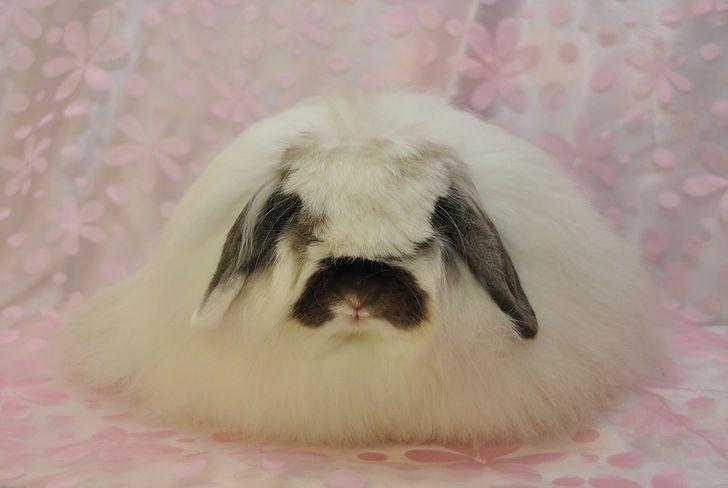 Lazy Daisy Rabbitry, American Fuzzy lops