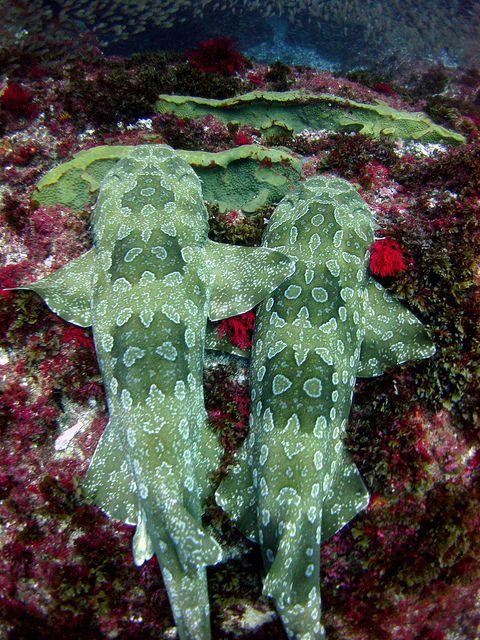 Wow so green, for a shark! Wobbegong sharks, Julian Rocks by cathm2
