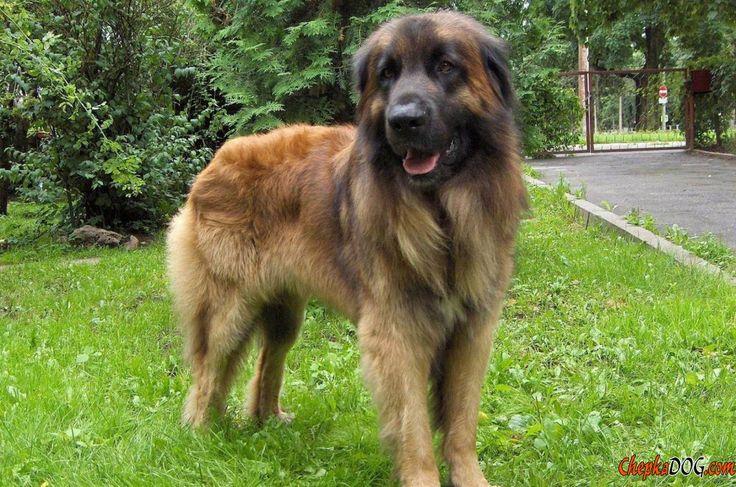 Radiant caucasien chien photo