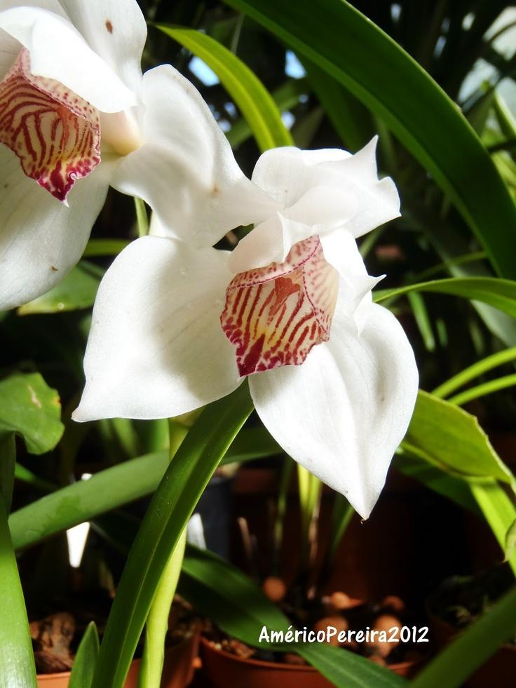 Cymbidium | Orquídeas soltas: Cymbidium erythrostylum