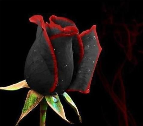 Awesome Black And Red Rose #roses, #flowers, #bestofpinterest, https://facebook.com/apps/application.php?id=106186096099420