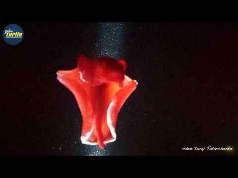 Испанский танцор | Красное море | Подводные съемки