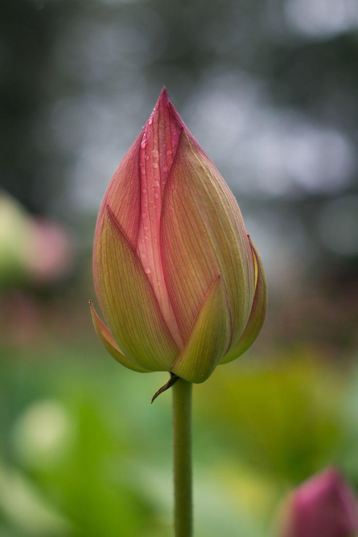 Lotus by  koldunova on 500px