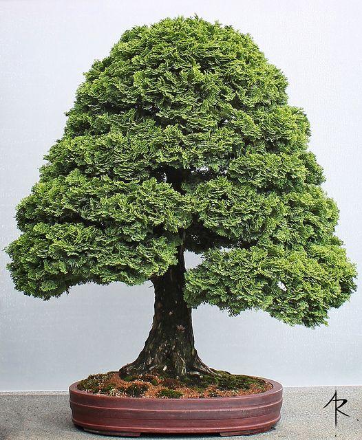 1321 besten bonsai bilder auf pinterest bonsai. Black Bedroom Furniture Sets. Home Design Ideas