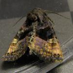 Levervlek - Euplexia lucipara