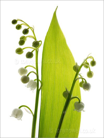 Lily of the Valley: Gardeding, Lily, Lilies, Beautiful, Plants, Valley, Smile, Flowers