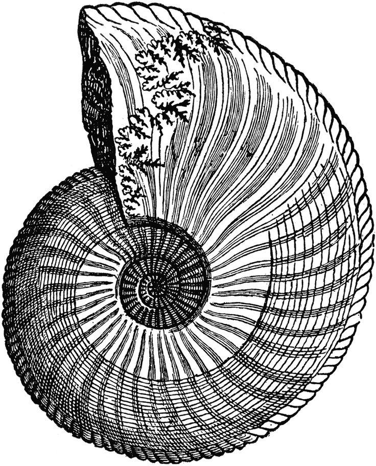 chambered nautilus shell drawing wwwpixsharkcom