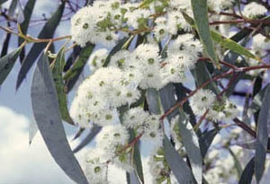 Eucalyptus pauciflora - snow gum ... for out the back ... available from Bungendore Nursery