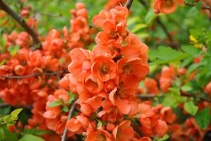Когда цветет хеномелес (айва японская)