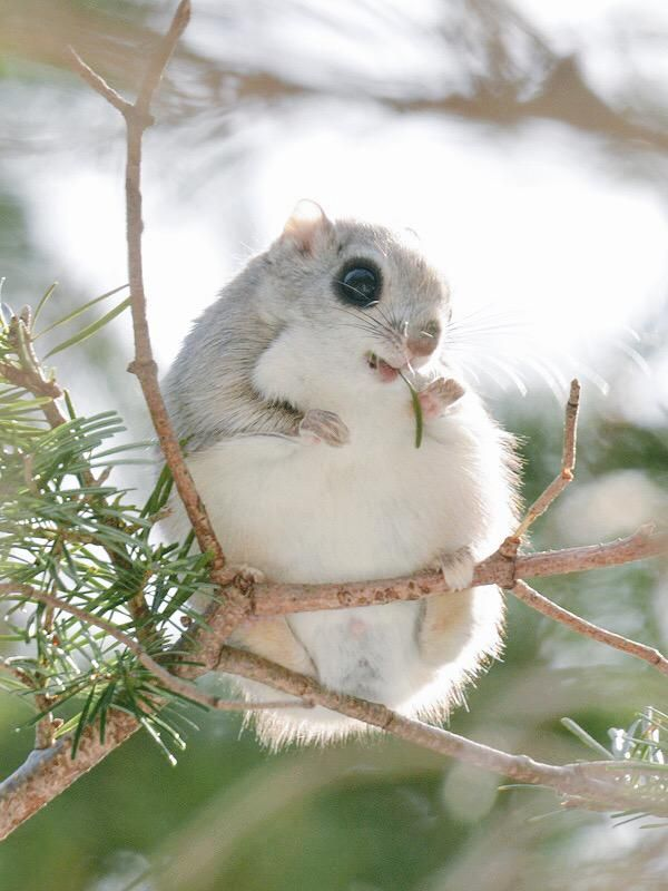 The adorable ezo momonga is a type of flying squirrel unique to Hokkaido.