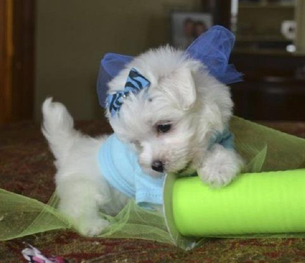 maltese puppy for sale in illinois 25 best ideas about maltese puppies for sale on pinterest 3759
