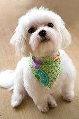 Dog Hair Cuts Style | maltese puppy haircuts | Puppies & Dogs