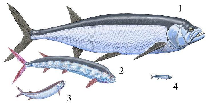 劍射魚 Xiphactinus audax Ichthyodectes ctenodon(英語:Ichthyodectes ctenodon) Cladocyclus(英語:Cladocyclus gardneri ...