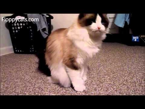 Meet Rehomed Ragdoll Cats Ash and Addie - My Sister's New Ragdoll Cats