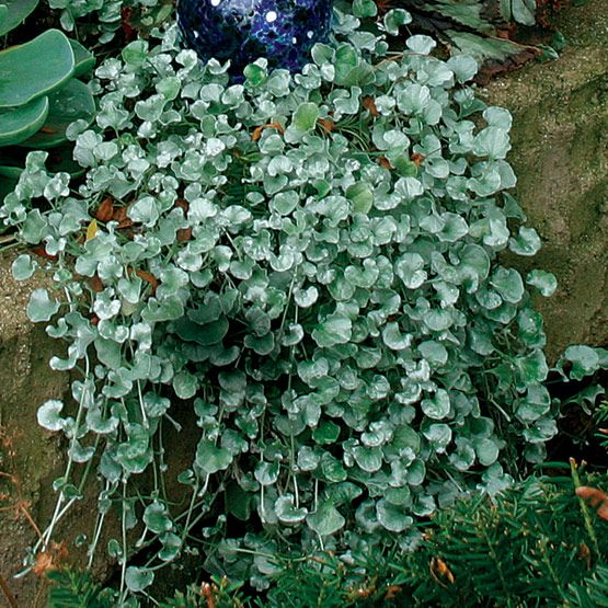 Silver pony foot as a ground cover or cascading plant. Low water needs.