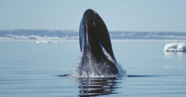 L'ADN anticancer de la baleine boréale Le cancer n'est que l'une des maladies dégénératives dont la cause principale et les mécanismes fondamentaux sont intimement liés à ceux du vieillissement. D'autres animaux comme les homards, les pétrels, le rat taupe nu ont à la fois une longévité exceptionnelle et ne font pas de cancers.