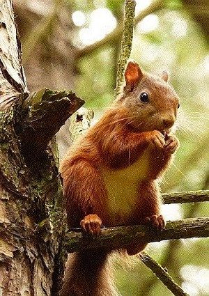 Red squirrels keep food nearby so they don't need to travel far in cold winter weather (Photo: WTML)