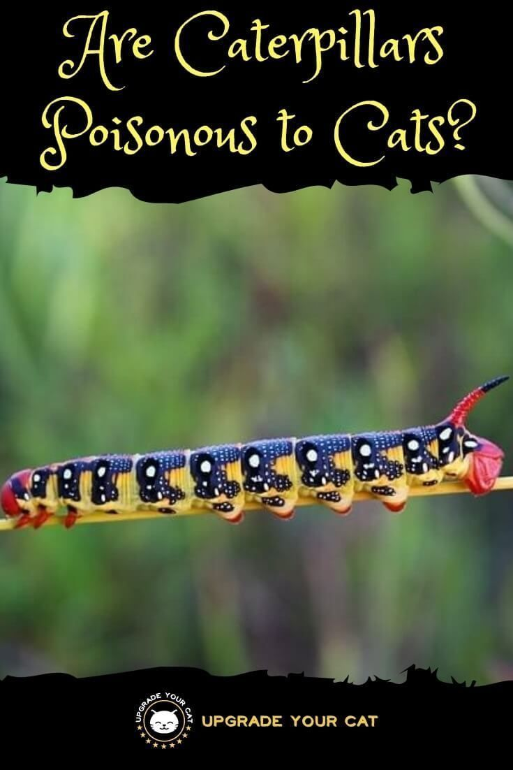 Are Caterpillars Poisonous To Cats Upgrade Your Cat Caterpillar Cat Behavior Cats