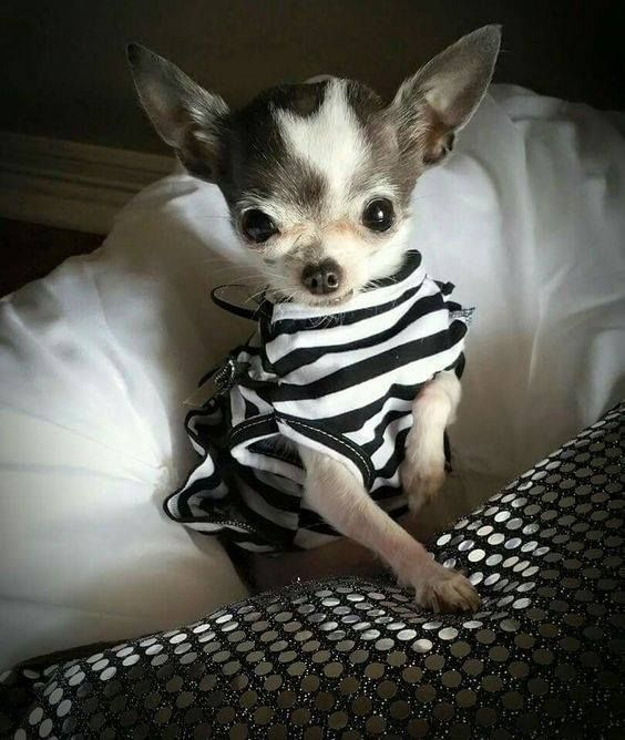 Best 25 teacup chiwawa ideas on pinterest teacup for Spikes tattoo maui