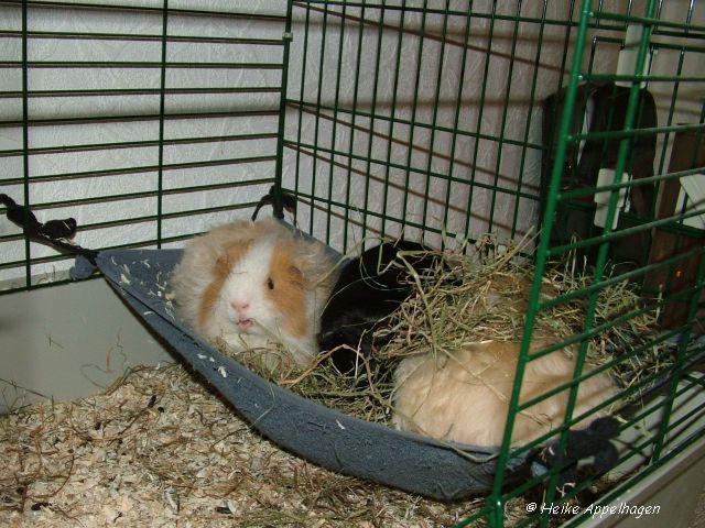 ber ideen zu meerschweinchen auf pinterest schweine meerschweinchen k fige und. Black Bedroom Furniture Sets. Home Design Ideas