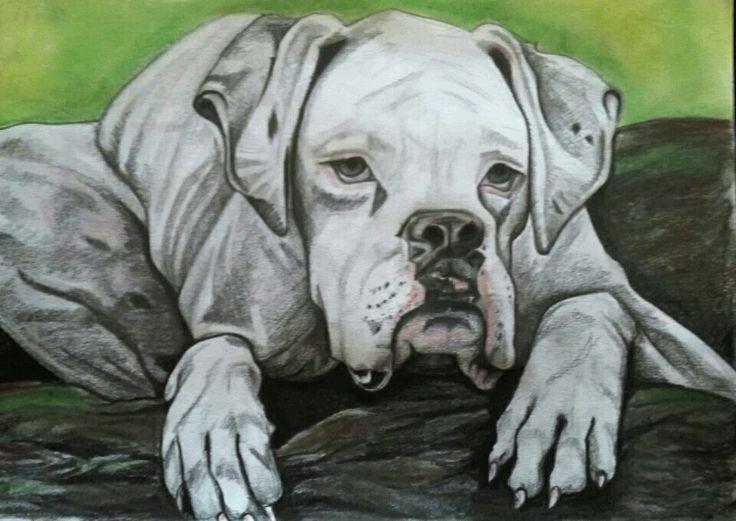 A3 pencil and colour sketch of Cooper the bulldog