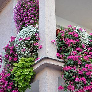 pflegeleichte Balkonpflanzen