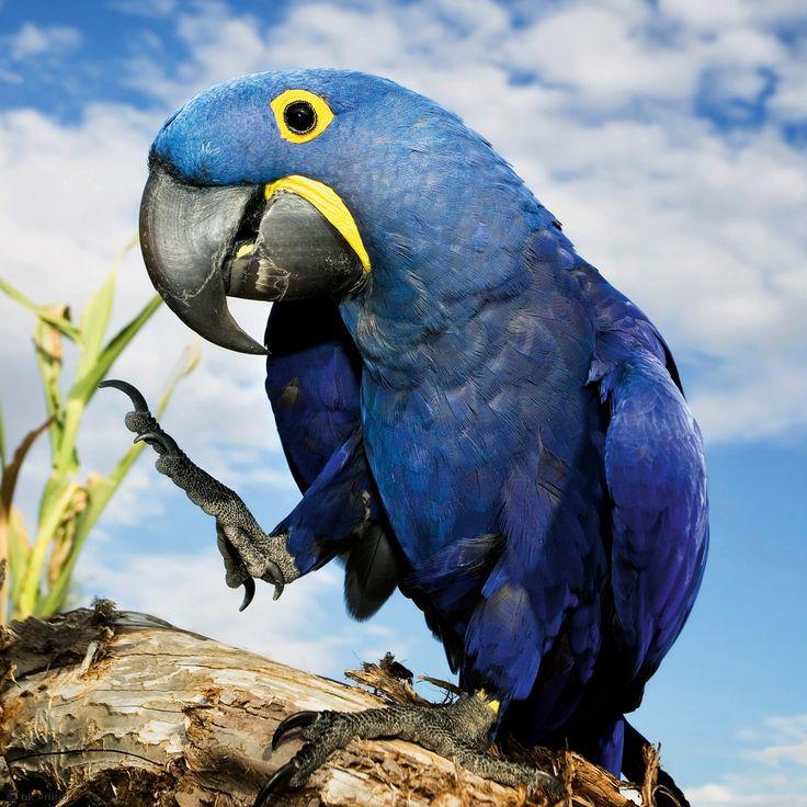 Mit einem Meter Länge vom Kopf bis zur Schwanzspitze ist der Hyazinth-Ara der Welt größter Papagei, aber auch der am meisten gefährdete in seinem Lebensraum im Zentrum Südamerikas – Diese Karte hier online kaufen: http://bkurl.de/pkshop-212102 Art.-Nr.: 212102 Stark gefährdet | Foto: © Scott Griessel/CREATISTA/iStockphoto | Text: Rolf Bökemeier