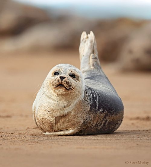 seal: Seals Sunbathing, Odd Creatures, Get Fit, Easy Weights, Sandy Seals, Weights Loss, Beautiful Creatures, Baby Seals, Silly Seals