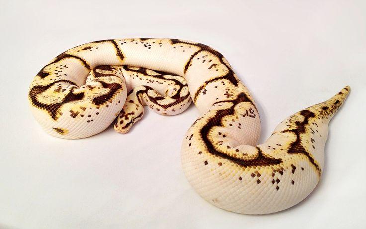 Calibee Ball Python (Calico Pastel Spider)