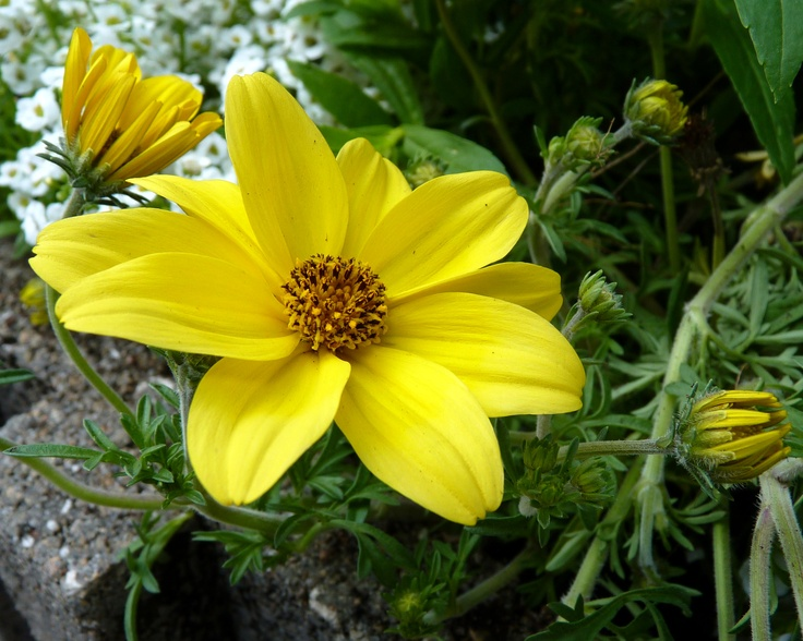 Namid Early Yellow Bidens (Bidens ferulifolia)