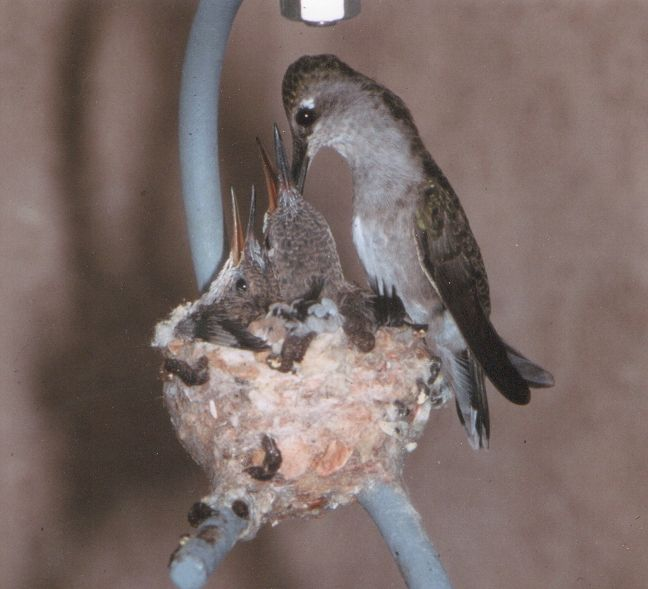 Instructions on How to Make a Hummingbird House -- Hummingbirds are not attracted to conventional bird houses.