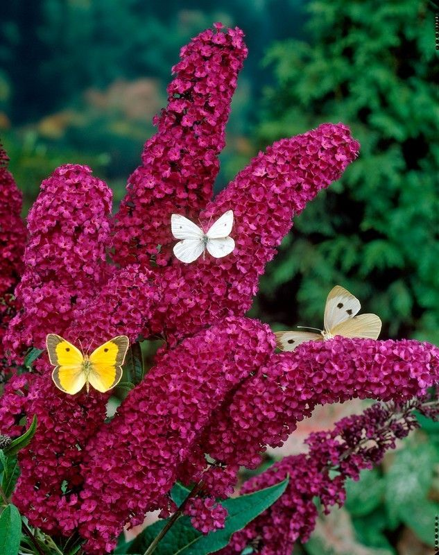 Dwarf Red Ruby Butterfly Bush zone 5-9 Full to partial sun 4-8 feet tall and fragrant
