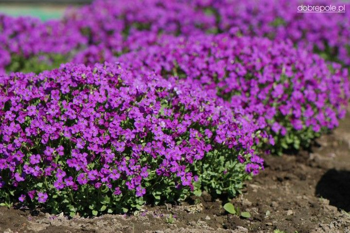 "Aubrieta x cultorum ""Cascade Purple"""
