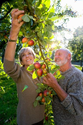 Stock Photo : Mature couple picking apples in orchard, smiling (lens flare)