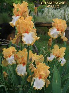 Iris CHAMPAGNE WALTZ by Schreiner, orange on white tall bearded iris available at Stout Gardens.