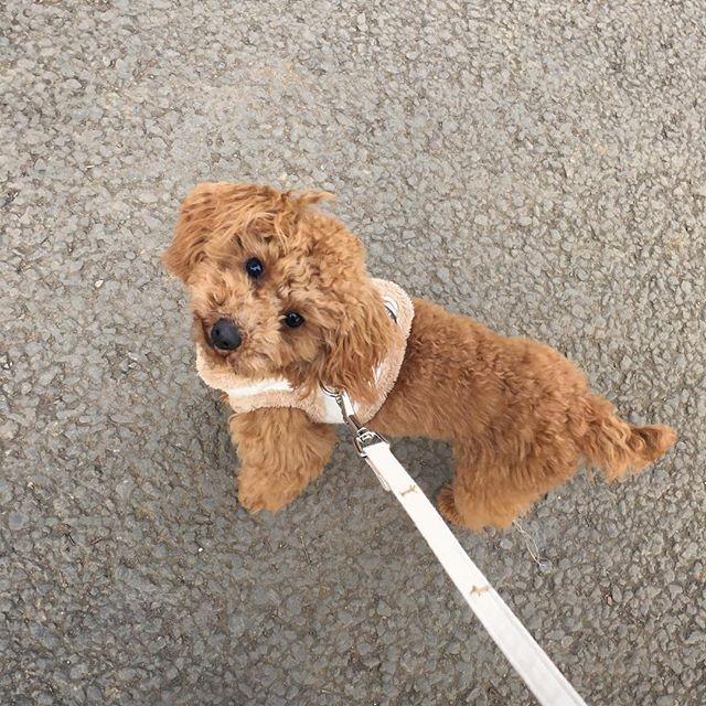 お散歩完了です🐶👍💖 今日は暖かかったので 代々木公園まで🐾  #toypoodle #poodle #dog #dogrun #dogstagram #instadog #doglovers #instagramdogs #teddybear #bear #style #トイプードル #プードル #トイプー #といぷーどる部 #犬 #愛犬 #わんこ #ふわもこ部 #いぬバカ部 #エブリドッグ #ふぅすたぐらむ