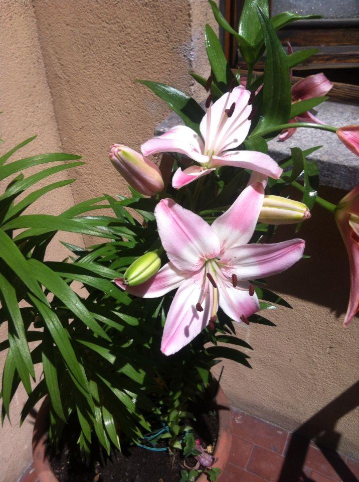 Rosa di estate