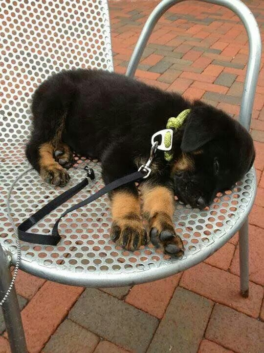 Snoozing Rottweiler pupster