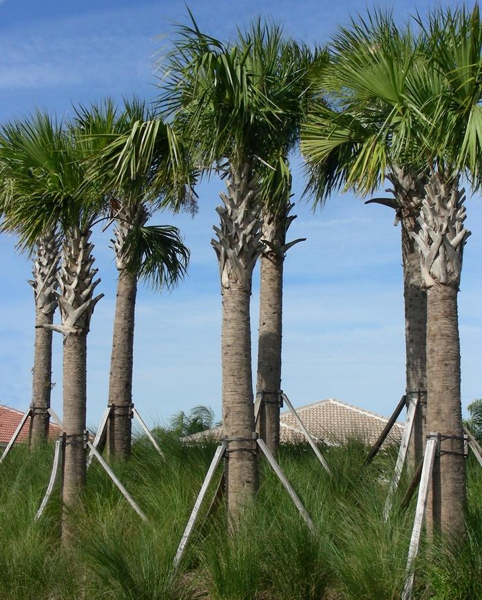 54 Best Plants Of Jamaica Palms Images On Pinterest
