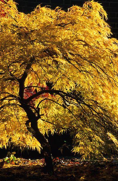 acep.356 Acer palmatum 'Dissectum Viride'