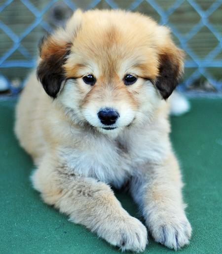 Cute! German Shepherd / Golden Retriever.